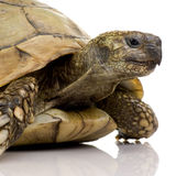 Herman's Tortoise - Testudo hermanni Royalty Free Stock Photos