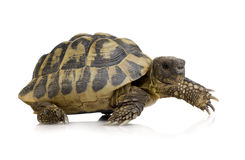 Herman's Tortoise - Testudo hermanni royalty free stock images