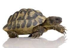 Herman's Tortoise - Testudo hermanni Royalty Free Stock Photos