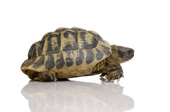 Herman's Tortoise - Testudo hermanni Royalty Free Stock Image