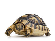 Herman Schildkröte - Testudo hermanni lizenzfreie stockbilder