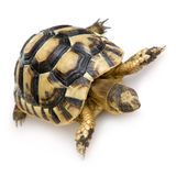 Herman Schildkröte - Testudo hermanni Lizenzfreies Stockfoto