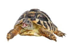 Herman tortoise royalty free stock image