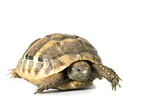 Herman tortoise Stock Photography