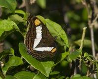 hermana Banda-celulada Butterfly Fotos de archivo libres de regalías