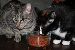 Hermana Cats Sharing Dinner Foto de archivo