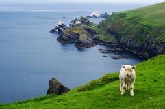 Hermaness自然保护安斯特岛(舍德兰群岛) 免版税库存照片
