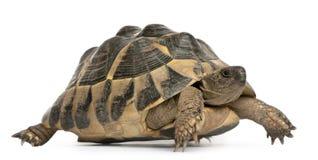 hermann hermanni s testudo tortoise odprowadzenie Zdjęcia Royalty Free