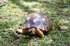 Hermann ` s żółwia odprowadzenie Obrazy Stock