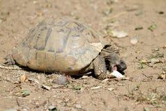 Hermann's tortoise Royalty Free Stock Image