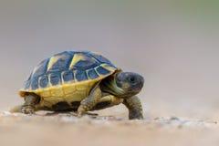Hermann S Tortoise Royalty Free Stock Photo