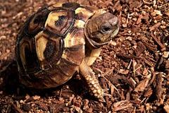 Hermann ` s Tortoise Στοκ φωτογραφία με δικαίωμα ελεύθερης χρήσης
