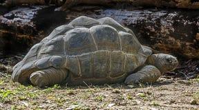 Hermann`s tortoise 1 stock image