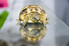 Hermann's tortoise baby Royalty Free Stock Images