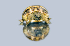 Hermann's tortoise baby. Hermann's tortoise (Testudo hermanni) baby isolated stock photography