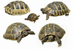 Hermann's Tortoise and baby turtles isolated Royalty Free Stock Photos