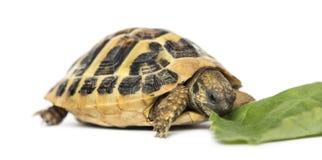 Hermann's tortoise eating salad, isolated Stock Image