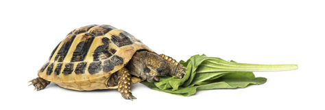 Hermann's tortoise eating salad, isolated Royalty Free Stock Photography