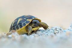 Hermann's tortoise Stock Photography