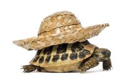 Hermann's tortoise, isolated Royalty Free Stock Photos