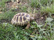 Hermann's tortoise. In the park eating grass Royalty Free Stock Photos