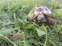 Hermann's tortoise. In the park eating grass Stock Photos