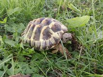 Hermann's tortoise. In the park eating grass Royalty Free Stock Photo