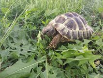 Hermann's tortoise Royalty Free Stock Photos