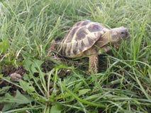 Hermann's tortoise. In the park eating grass Stock Images