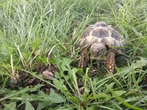 Hermann's tortoise. In the park eating grass royalty free stock images