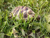 Hermann's tortoise. In the park eating grass Stock Photography