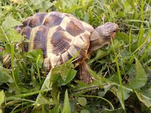 Hermann's tortoise. In the park eating grass royalty free stock photography
