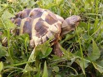 Hermann's tortoise Royalty Free Stock Photography