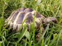 Hermann's tortoise. In the park eating grass Stock Image