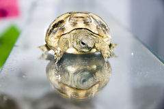 Hermann's tortoise (Testudo hermanni) baby. On mirror stock images