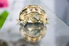 Hermann\'s tortoise (Testudo hermanni)  baby Stock Images
