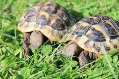 Hermann's tortoise  (Testudo hermanni boettgeri) Stock Photos