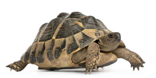 Hermann's tortoise, Testudo hermanni, walking Royalty Free Stock Photos
