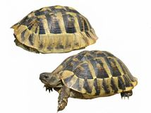 Hermann's Tortoise turtles isolated Royalty Free Stock Photography