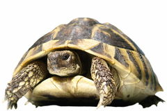 Hermann's Tortoise turtles isolated Stock Image