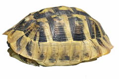 Hermann's Tortoise turtles isolated Stock Images