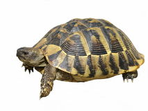 Hermann's Tortoise turtles isolated Royalty Free Stock Image