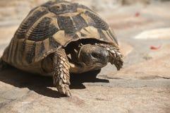 Hermann's tortoise Royalty Free Stock Photo