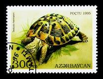Hermann \ 'ser della tartaruga (hermanni del testudo), delle tartarughe e delle tartarughe di s Fotografie Stock