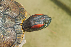 Hermann Tortoise. Amphibians in thailand stock image