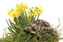 Hermann tortoise in daffodils. 