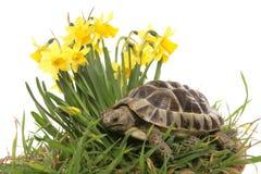 Hermann Tortoise In Daffodils Stock Photography