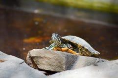 Hermann Tortoise que toma la rotura Fotografía de archivo