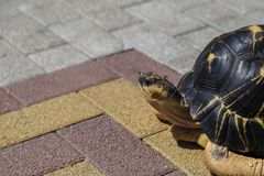 Hermanni de Testudo de tortue du ` s de Hermann sur le modéré Tortue marchant sur la route goudronnée photos stock