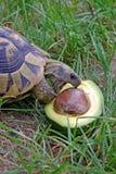 Hermanni del Testudo che mangia avocado Fotografie Stock